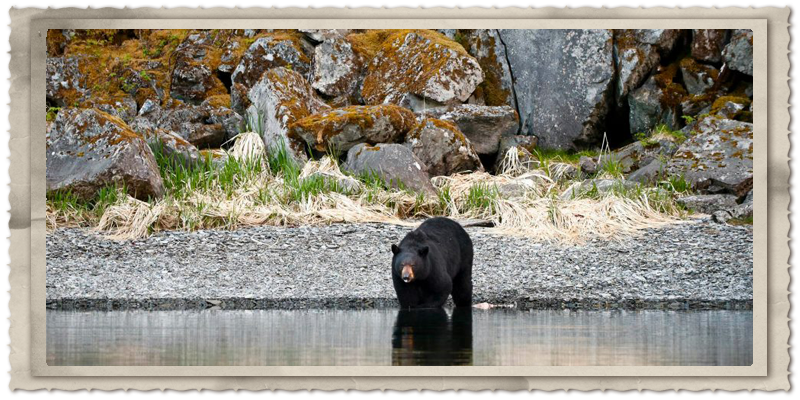 Prince William Sound Black Bear. Photographer Ted Raynor