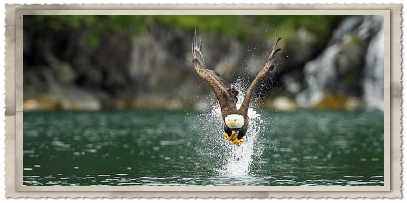 A eagle snatches up a rockfish. Photographer: Ted Raynor